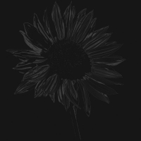 sonnenblume - - PHOTOGALERIE WIESBADEN - dunkel-schwarz