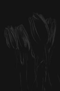 tulpen 2 - PHOTOGALERIE WIESBADEN - dunkel-schwarz