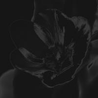 tulpen-7 - PHOTOGALERIE WIESBADEN - dunkel-schwarz