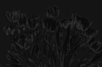 tulpen 8 - PHOTOGALERIE WIESBADEN - dunkel-schwarz