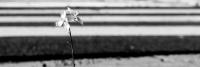 zebrastreifen - ernst-galonske-straße - blume (sw - 1 zu 3) - PHOTOGALERIE WIESBADEN - wiesbaden - impressionen 3